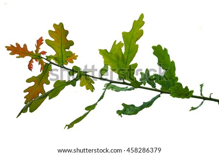 Oak branch - stock photo