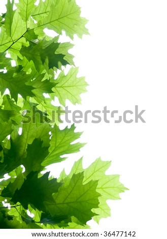 oak branch isolated on white - stock photo