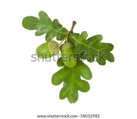 Oak Branch with Acorns isolated on white - stock photo