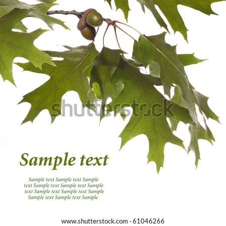 oak branch with acorns on white - stock photo