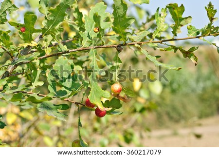 Oak branch with red and yellow balls