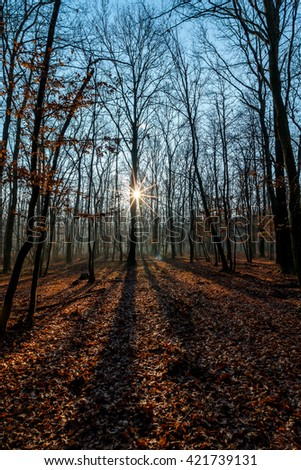 Oak forest at the autumn with sun - stock photo