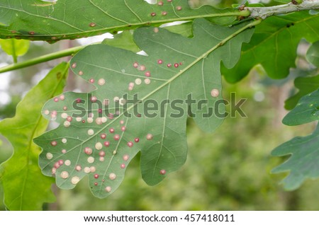 oak 'got a visit from gall wasps - stock photo