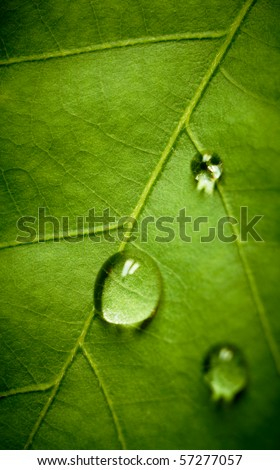Oak green leaf and water drop on it, shallow dof. - stock photo