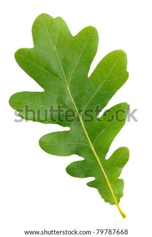 Oak green leaf isolated on white background - stock photo