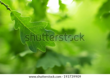 Oak green leaves close-up. Selective focus (shallow depth of field).  - stock photo