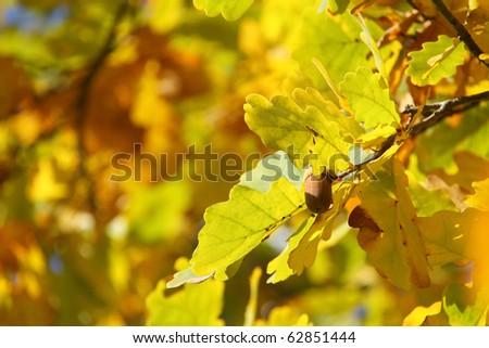 oak in autumn - stock photo