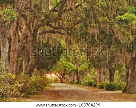 Oak lane with Spanish moss hanging from trees in the low country of South Carolina - stock photo