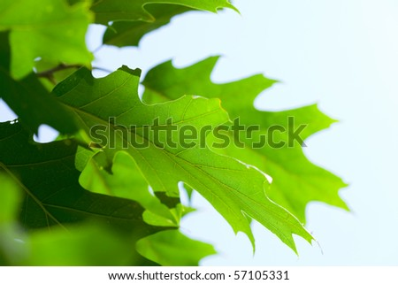 oak leaf against the blue sky - stock photo