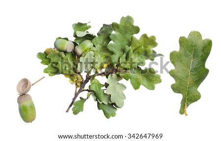 Oak leaf, branch and acorn isolated on white background.  - stock photo