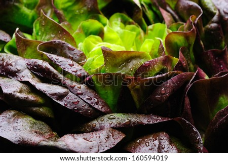Oak leaf variety of lettuce in close up with water droplets showing freshness. - stock photo