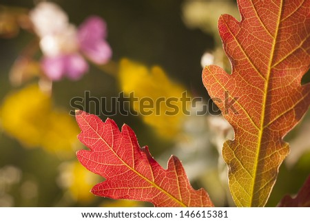 Oak leafs at sunset - stock photo
