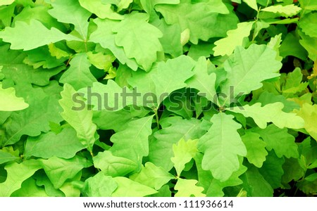 oak leafs background