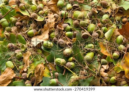Oak leaves and acorns - stock photo