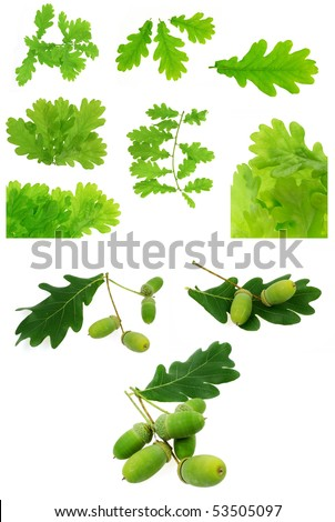 oak leaves and acorns isolated - big collection - stock photo