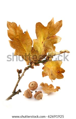 Oak leaves and acorns on white background - stock photo