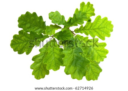 Oak leaves in backlighting, isolated on a white background. - stock photo