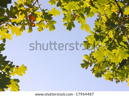 Oak leaves in Fall/Autumn.