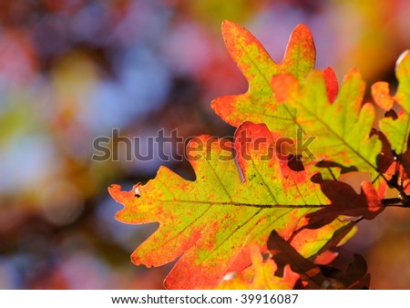 Oak leaves in the autumn. Colorful background - stock photo