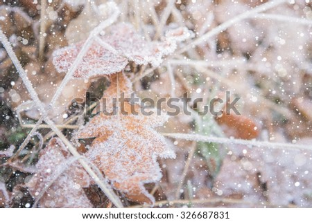 Oak leaves in the snow. The leaves are yellow. Close-up, macro. Snowfall. - stock photo