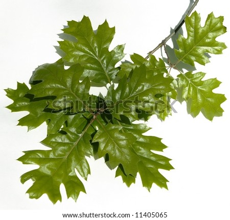 oak leaves isolated on white
