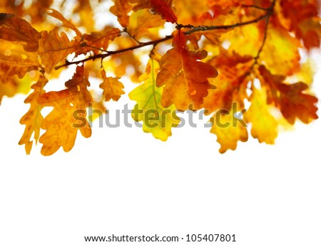 oak leaves isolated on white background, selective focus - stock photo