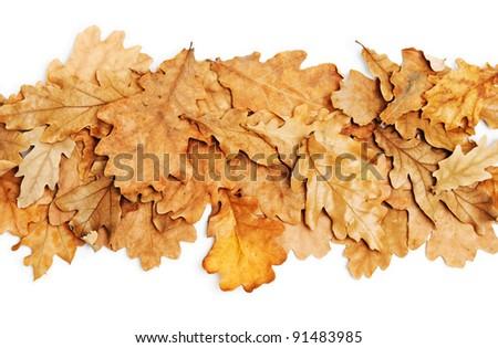 oak leaves on white background - stock photo