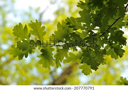 Oak leaves Quercus robur. - stock photo