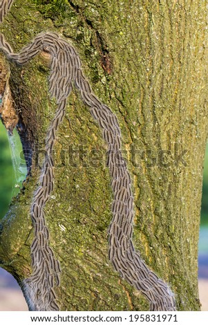 oak processionary caterpillar plague - stock photo
