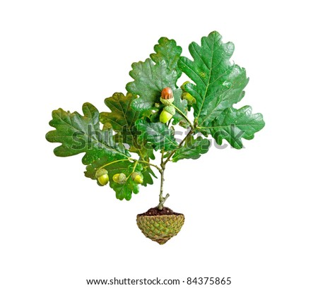 Oak tree growing from acorn cup pot isolated on white background - stock photo