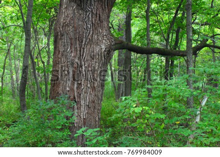 Oak tree grows in a dense forest of northern Illinois