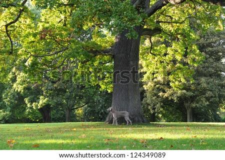 Oak Tree in a Green Park - stock photo