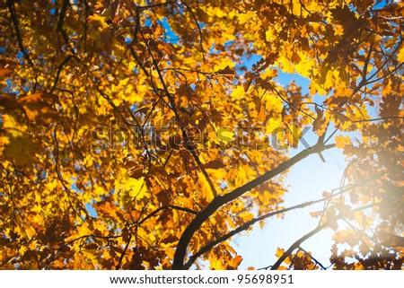Oak tree in autumn - stock photo