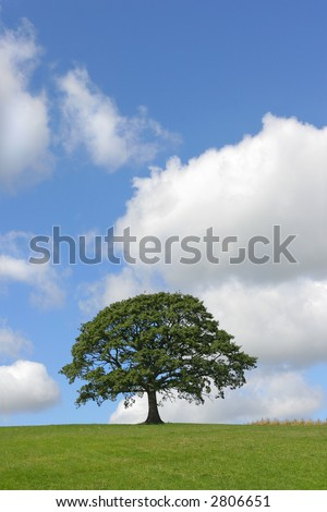 Oak tree in full leaf standing alone in a field in summer with a small fence nearby, against a blue sky with cumulus clouds.