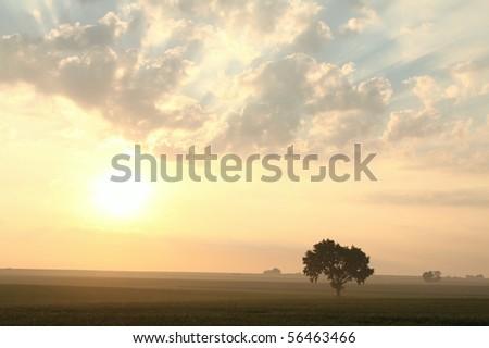 Oak tree in the field of grain at sunrise. - stock photo