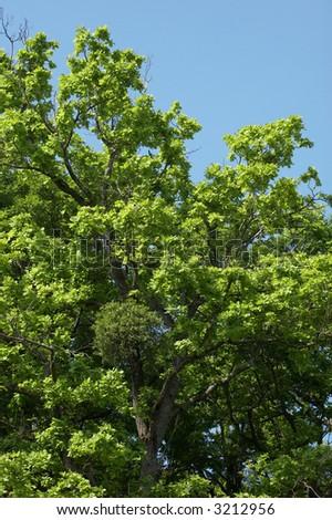 Oak tree in the springtime - stock photo