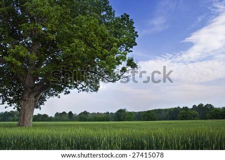 oak tree in wheat field - stock photo