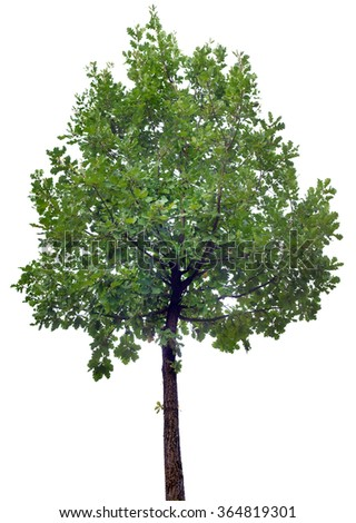 Oak Tree Isolated on White Background - stock photo