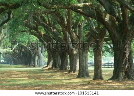 Oak tree lined road at Boone Hall Plantation, Charleston, South Carolina - stock photo
