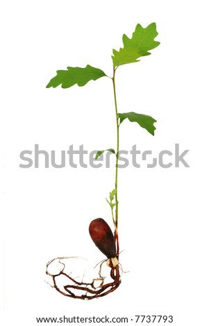 Oak tree seedling with roots - stock photo