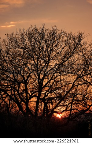 oak tree silhouette with sunset background