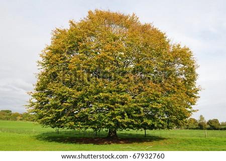 Oak Tree Standing in a Green Field in Late Summer - stock photo