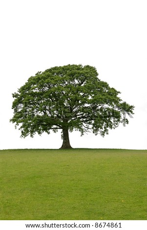 Oak tree with new leaf growth in early spring standing alone in a field, against a white background. - stock photo