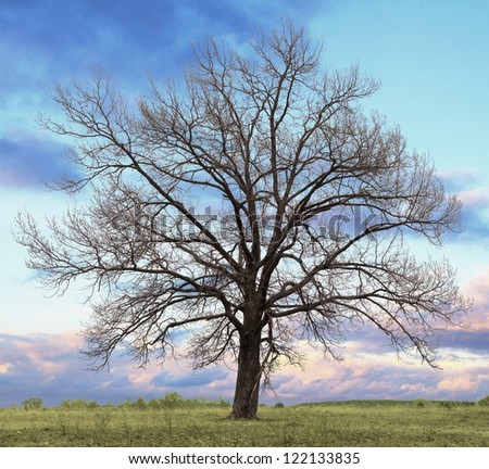 Oak tree without leaves - stock photo
