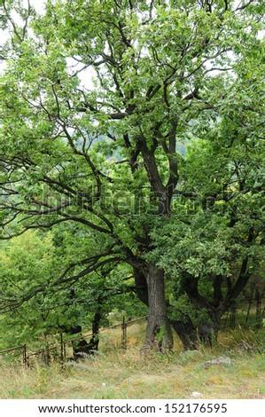 Oak trees  - stock photo