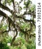 oak trees and spanish moss overhang - stock photo