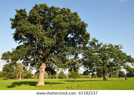 Oak Trees in a Green Field - stock photo