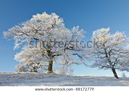 Oak trees on the hill in winter time