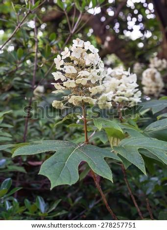 Oakleaf Hydrangea also called Oak-Leaf Hydrangea, in full bloom in garden setting - stock photo