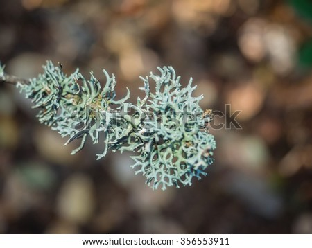 Oakmoss (Evernia prunastri) is a species of lichen that can be found in many mountainous temperate forests throughout the Northern Hemisphere. - stock photo